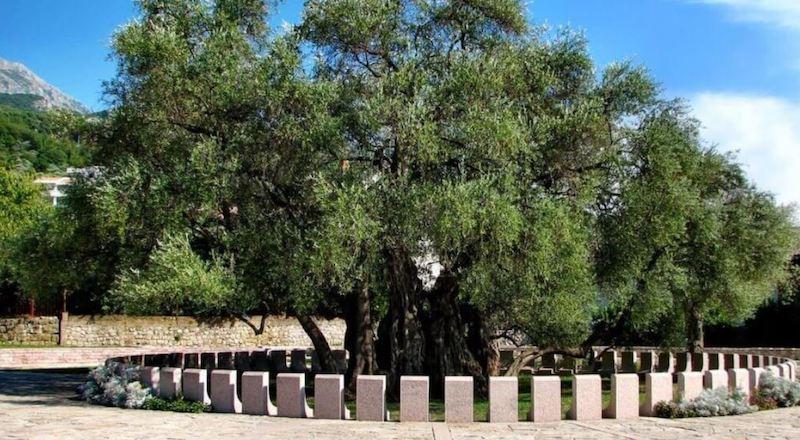 Древняя олива