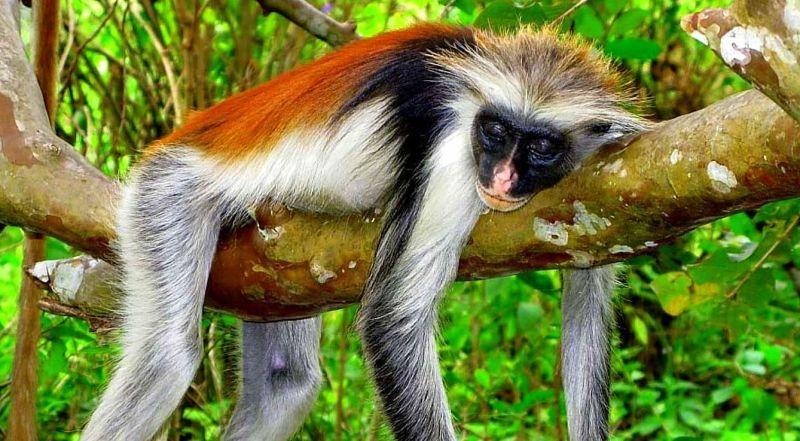 Танзания Занзибар лес Джозани
