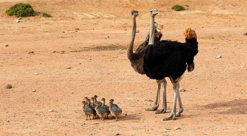 ЮАР страусиная ферма